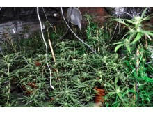 Cannabis Farm - Riddock Road