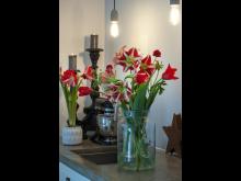 Lyxig jul med svenskodlade tulpaner och amaryllis