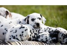 Dalmatinervalpar