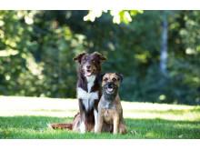 Hundar tillsammans