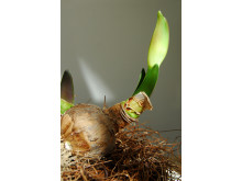 Amaryllis på lök med grön knopp