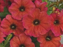 Petchoa x hybrida BeautiCal  Cinnamon