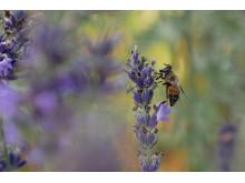 Pollinerande insekt.