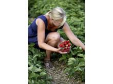 Bästa tiden att plantera jordgubbar