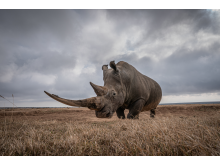 Will Burrand-Lucas, A7R IV, rhino