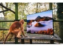 Οι λεμούριοι και οι σεμνοπίθηκοι βλέπουν  τηλεόραση με ανάλυση 4K στα πλαίσια της επανένταξής τους στην άγρια φύση