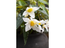 Begonia boliviensis Summerwings Boliviabegonia Foto @annikasnaturligating