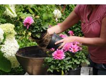 Samplantering av rosa dahlia - steg 2