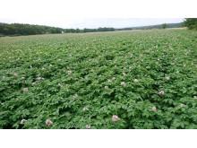 Kartoffelmark