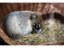 Zoo Leipzig - Weißrüssel-Nasenbär