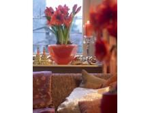 Amaryllis i röd glasskål, 'Orange Souverign'