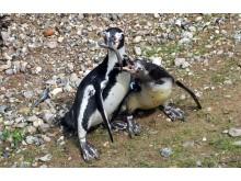 Pinguine-POLARIUM_3_Foto_Joachim_Kloock