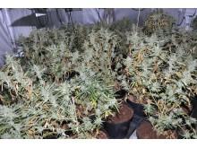 Cannabis fournd in Cemetery Road