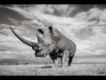 Will Burrand-Lucas, A7R IV, rhino 2