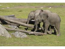 Elefantungar på Borås Djurpark