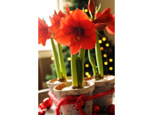 Röda amaryllis i krukor