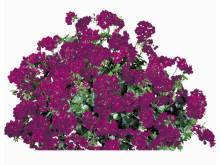 Hängpelargon Pelargonium peltatum 'Lulu'