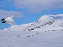 Flygende fjellrype