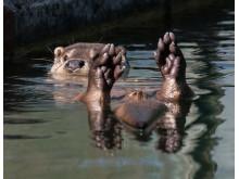 Utter i vatten