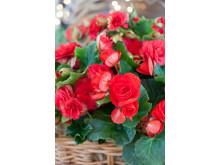 Begonia x hiemalis 'Baladin' och 'Grace' close up