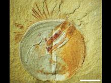 Fossil armfoting med parasiter