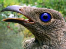 Lövsalsfågel