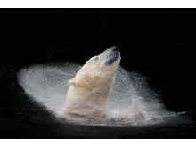 Polar Bear Bath