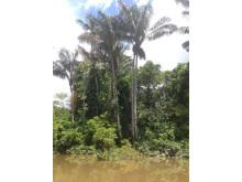 Palmer i Amazonas