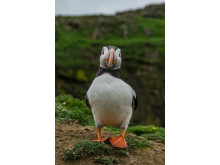 ©Sam Hobson_UK_SonyNaturePuffin4