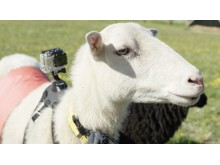 Впервые в истории: в роли гида овца!