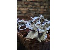 Julstämning med bladbegonia
