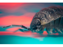 Common Woodlouse captured with α7R II and 90mm Sony Macro Lens