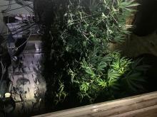 Cannabis [01]