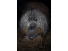 Indianapolis,Orangutan
