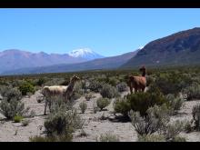 Llamas walking on magma reservoar