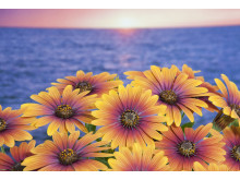 Stjärnöga, Osteospermum ecklonis Purple Sun