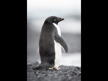 Will Burrand-Lucas, A7R IV, penguin 2