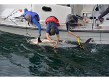 Märkning av tonfisk