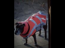 'Angel' - Staffordshire Bull Terrier [3]