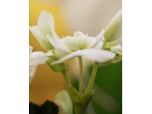 Begonia närbild