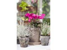 Lila paraplycyklamen, Cyclamen persicum 'Purple Fleur en Vogue´ passar fint tillsammans med silverfärgade växter.