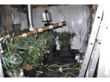 Cannabis farm in Old Swan