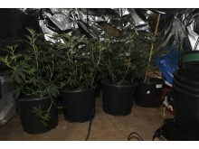Cannabis seized in Birkenhead