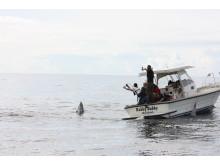 Tonfisken fångades med spö