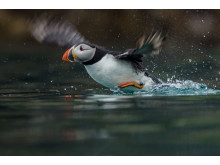 ©Sam Hobson_UK_SonyNaturePuffin2