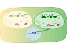 Ljus och kloroplastutveckling i växtcell