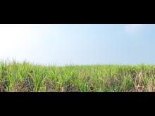 Original Blended Material_сахарный тросник