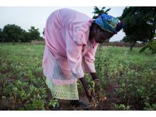 Diallo Adana från Burkina Faso inspekterar sina jordnötsplantor