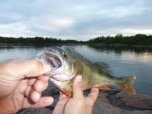 Aborre med liten fisk i munnen