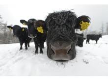 Svanninge Bjerge Welsh Black kvæget